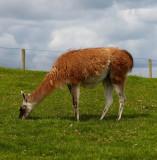 grazing llama.jpg
