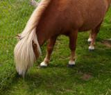 shetland pony 1.jpg