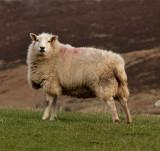 mountain sheep 1.jpg