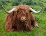 highland cattle 2.jpg