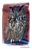 'Dolphy' - European Eagle Owl