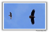 Common Buzzard v White Tailed Sea Eagle