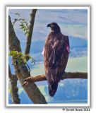 White Tailed Sea Eagle ('Red 2')