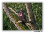 White Tailed Sea Eagle (Red '2')
