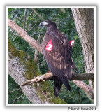 White Tailed Sea Eagle (Red 2)