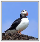 Perfect Puffin