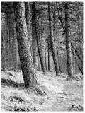 Tentsmuir Trees
