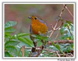 Robin.....eating a Wasp!