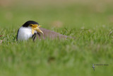 plovers_dotterels_and_lapwings