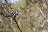 quail-thrush