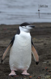 Chinstrap Penguin