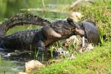 Turtle vs. Alligator
