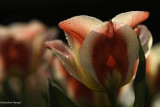 Tulipes : floraison 2012