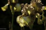 Iris 2012
