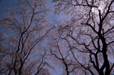 Sano Sakura at Kyoto Sagano