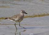 Black Bellied Plover II