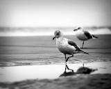 B&W Gulls