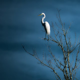 Egret Sky and Tree