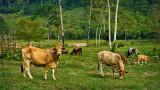 Guatemalan Pasture