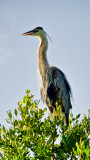 Great Blue Heron in a Tither
