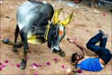 Jallikattu 2012  • Tiruchirapalli