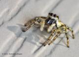 K5D0277-Metaphid Jumping Spider.jpg