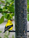 K5D1568-American Goldfinch male.jpg