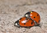K5D1752-Ladybugs-mating.jpg