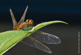 K5D8008-Dragonfly.jpg