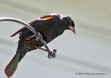 K5D8273-Red-winged Blackbird (male).jpg