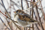 K5E4183-Housr Sparrow.jpg