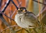 K5E4187-House Sparrow.jpg