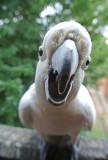 Cockatiel up Close