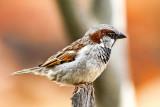 Sparrow*Credit*