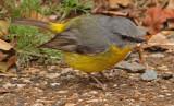 Yellow Robin Eating Yummy Bug*Credit*