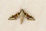 Parum colligata