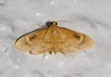 Eusabena sp. nr. monosticatalis