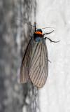 Macrobrochis fukiensis
