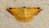 Luxiaria phyllosaria