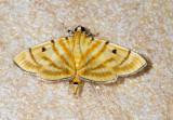 Dichocrocis tigrina