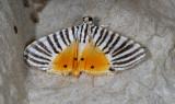 Dichocrocis zebralis