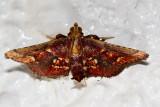 Tamraca torridalis
