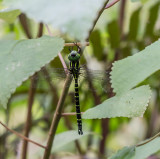 Tiger Hawker - croppped