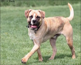Mixed breed Bogie