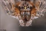 Barn Spider (Araneus cavaticus)  closeup