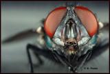 Bottle Fly portrait
