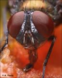 Bottle fly eating fruit