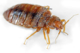 Bed bug full body