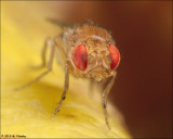 Fruit fly (Drosophila melanogaster) Portrait