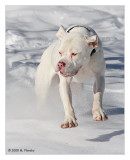 American Bulldog Bitch flying in the snow